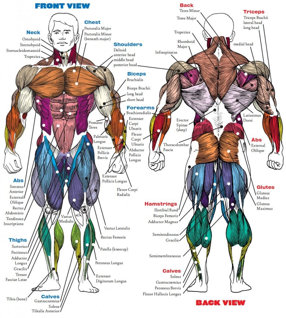Muscle anatomy exercises