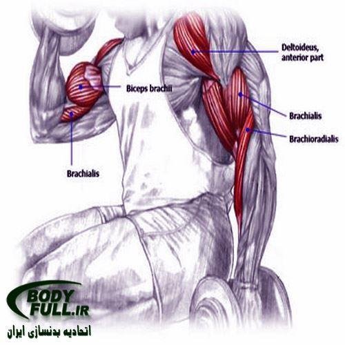 آناتومی جلو بازو